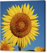 Sunflower And Blue Sky Canvas Print
