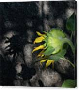 Sunflower And Shadow Canvas Print