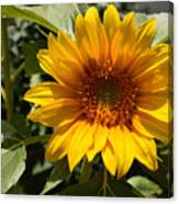 Sunflower Art- Summer Sun- Sunflowers Canvas Print