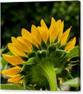 Sunflower Back Canvas Print