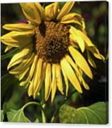 Sunflower Close Up Canvas Print
