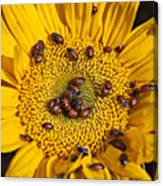 Sunflower Covered In Ladybugs Canvas Print