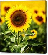 Sunflower Crops On A Farm In South Dakota Canvas Print