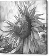 Sunflower Dawn Black And White Drawing Canvas Print