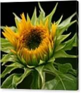 Sunflower - Doubleshine Canvas Print