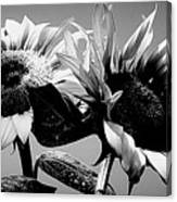 Sunflower Duo Bw Canvas Print