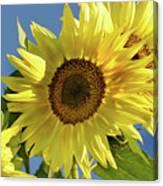 Sunflower Face Canvas Print