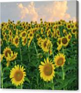 Sunflower Faces At Sunset Canvas Print