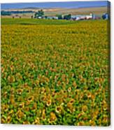 Sunflower Farm In Northwest North Dakota  Canvas Print