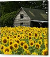 Sunflower Field And Barn Canvas Print