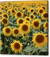 Sunflower Field France Canvas Print