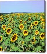 Sunflower Field Canvas Print
