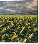 Sunflower Fields Near Denver International Airport Canvas Print