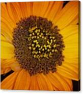 Sunflower Glory Canvas Print