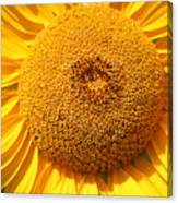 Sunflower Head  Canvas Print