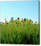 Sunflower Horizon Canvas Print