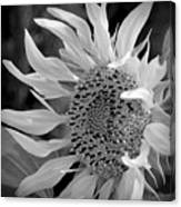 Sunflower In Contrast Canvas Print