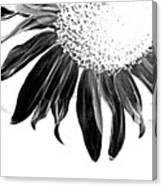 Sunflower In Corner Bw Threshold Canvas Print