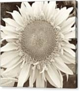 Sunflower In Soft Sepia Canvas Print