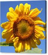 Sunflower In Sunshine  Canvas Print