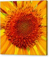 Sunflower In The Sun Canvas Print