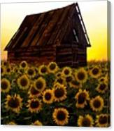 Sunflower Morning With Barn Canvas Print