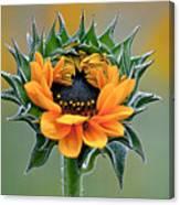 Sunflower Opens Canvas Print