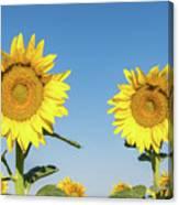 Sunflower Pair Canvas Print