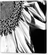Sunflower Petals In Black And White Canvas Print