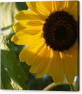 Sunflower Portrait With Leaf Canvas Print
