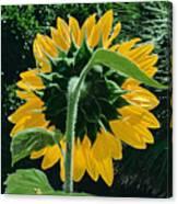 Sunflower Rear Canvas Print
