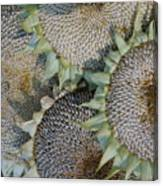 Sunflower Seed Heads Dried To Perfection Canvas Print