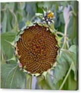 Sunflower Seedhead Canvas Print