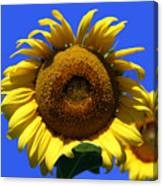 Sunflower Series 09 Canvas Print