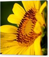 Sunflower Side Light Canvas Print