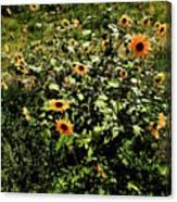 Sunflower Stalks Canvas Print