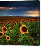 Sunflower Storms Canvas Print