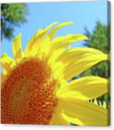 Sunflower Sunlit Art Print Canvas Sun Flowers Baslee Troutman Canvas Print