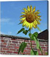 Sunflower With Brick Wall Poster Canvas Print