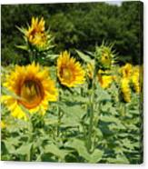 Sunflowers   Attention Canvas Print
