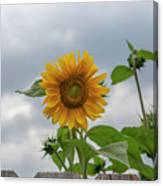 Sunflowers 2018-1 Canvas Print