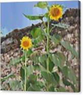 Sunflowers And A Stone Wall Canvas Print