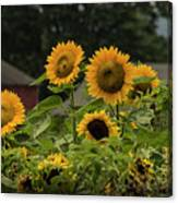 Sunflowers And Red Barn 2 Canvas Print