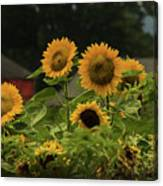 Sunflowers And Red Barn 3 Canvas Print