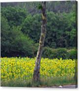 Sunflowers And Trees Growing Canvas Print