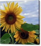 Sunflowers Close Up Canvas Print