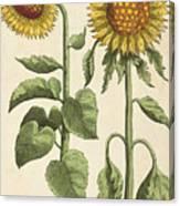 Sunflowers Illustration From Florilegium Canvas Print