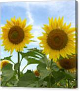 Sunflowers In Texas Summertime 1 Canvas Print