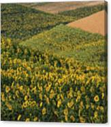 Sunflowers In The Palouse Canvas Print