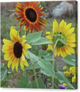 Sunflowers Of August Canvas Print